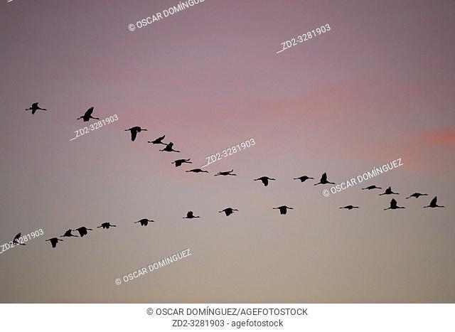 Common Crane (Grus grus) flying in to land at sunset. Gallocanta lagoon. Zaragoza province. Aragon. Spain