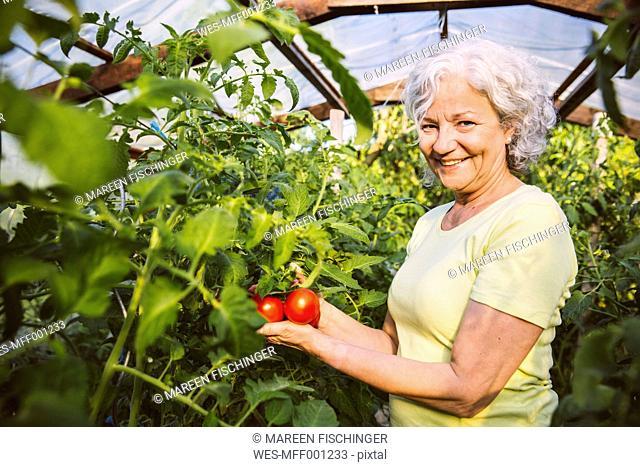 Germany, Northrhine Westphalia, Bornheim, Senior woman admiring ripe tomatoes in greenhouse