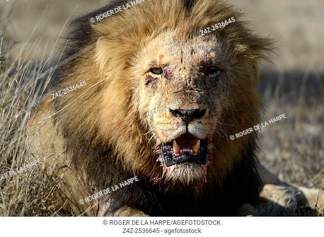 Lion (Panthera leo). Kruger National Park. Mpumalanga. South Africa