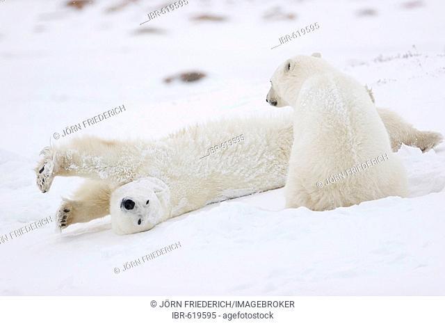 Two Polar Bears (Ursus maritimus), one them stretching, Churchill, Manitoba, Canada