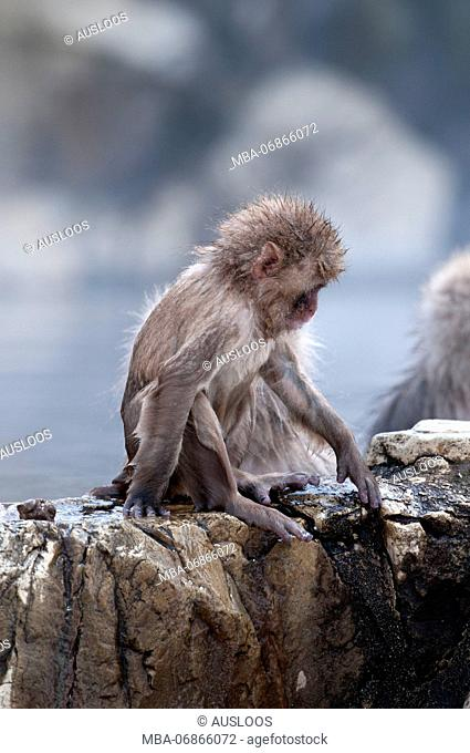 Japanese macaque or snow japanese monkey, baby, in onsen (Macaca fuscata), Japan