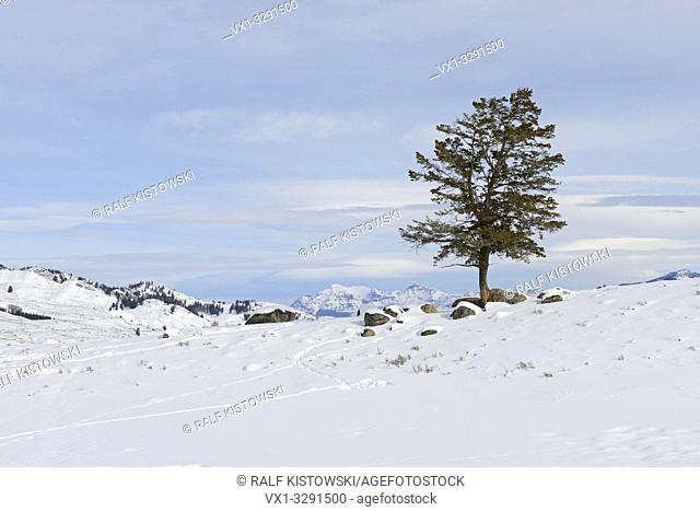 Lonely conifer tree on a little hill under blue sky on a nice day in the caldera of Yellowstone National Park, Winter in Wyoming, USA