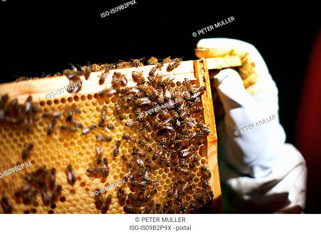 Beekeeper holding hive frame, close-up