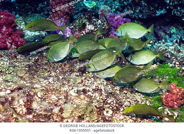 Dusky rabbitfish (Siganus fuscescens), school grazing on algae. Andaman Sea, Thailand