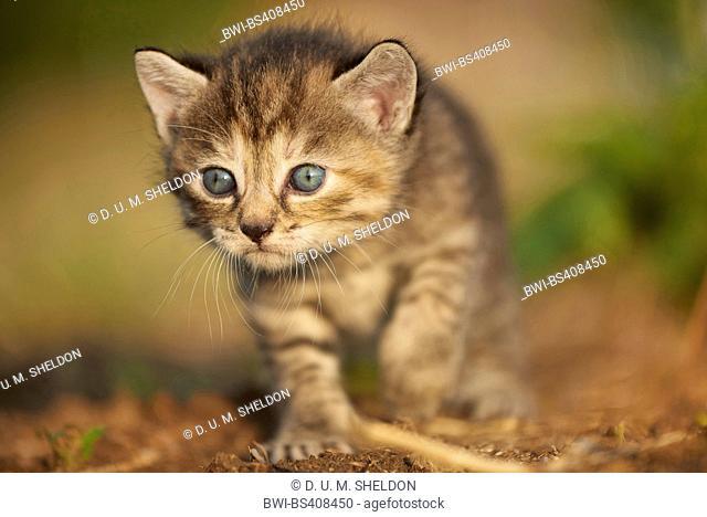 domestic cat, house cat (Felis silvestris f. catus), five weeks old kitten walking in a meadow, Germany