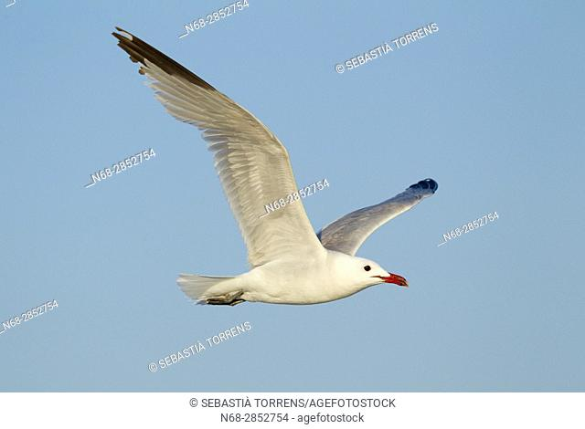 Audouin's gull (Ichthyaetus audouinii) flying, Alcúdia, Majorca, Balearic Islands, Spain