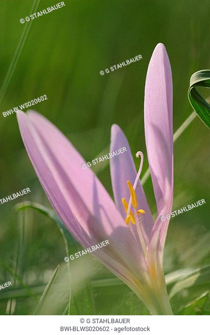 meadow saffron Colchicum autumnale, bloom, flowers in the autumn, Germany, Bavaria