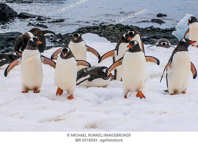 Gentoo Penguins (Pygoscelis papua), colony, Mikkelsen Islands, Antarctica
