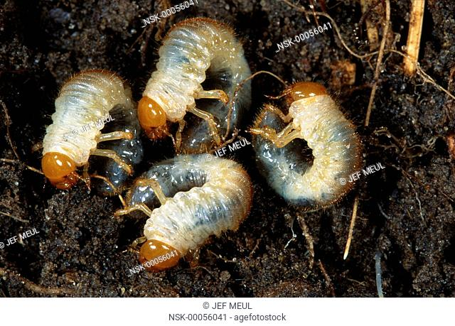 Cockchafer (Melolontha melolontha) larvae, Belgium