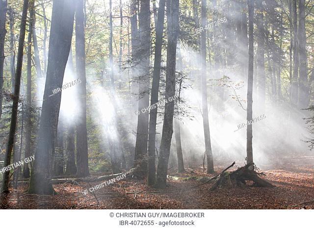Forest of Meydat, Parc Naturel Regional Livradois Forez, Natural regional park of Livradois Forez, Condat-les-Montboissiers, Puy-de-Dome, Auvergne, France