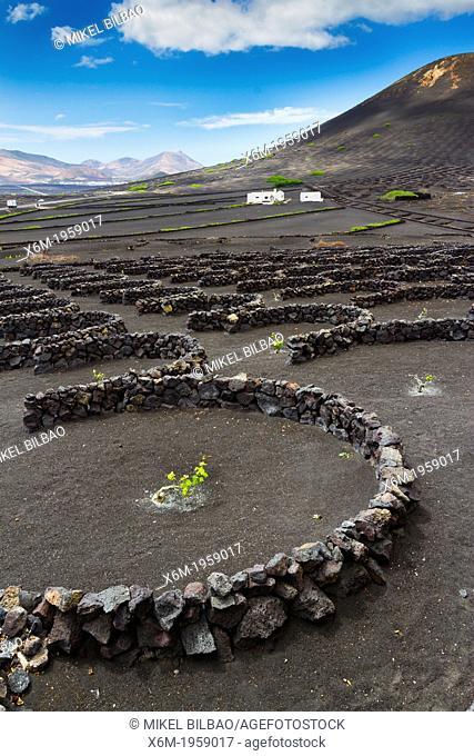 Vines growing in volcanic lapilli. La Geria region. Lanzarote, Canary Islands, Atlantic Ocean, Spain