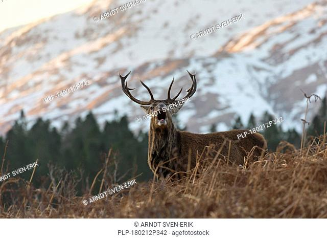 Red deer stag / male (Cervus elaphus) bellowing in the hills in winter in the Scottish Highlands, Scotland, UK