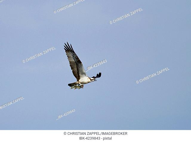 Osprey (Pandion haliaetus) in flight, with preyed pike (Esox lucius), Chiemsee, Upper Bavaria, Bavaria, Germany