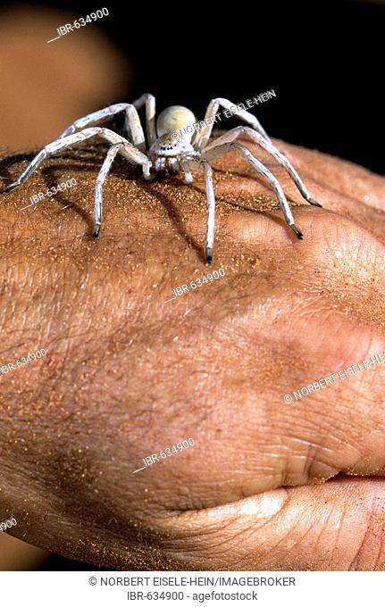 White spider on a hand, Tok Tokkie Trail, NamibRand Nature Reserve, Namibia, Africa