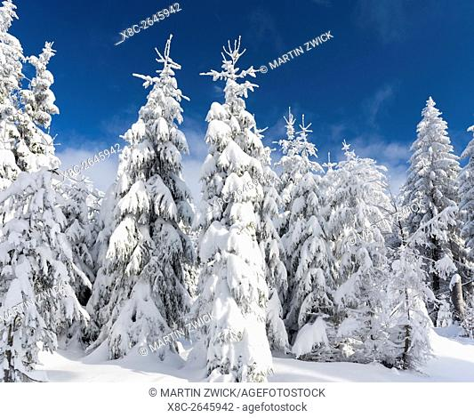 Snowy forest in the National Park Bavarian Forest (Bayerischer Wald) in the deep of winter. Europe, Germany, Bavaria, January