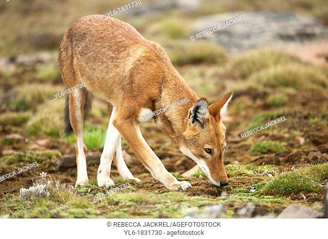 Ethiopian wolf smelling the ground