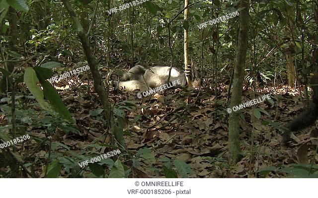 Western Lowland Gorilla laying on forest floor with hand on tree trunk as another Western Lowland Gorilla walks past