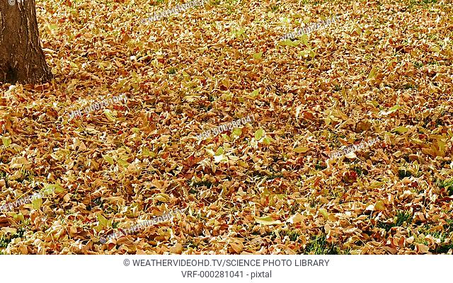 Autumn leaf fall. Footage of leaf litter on a woodland floor, with gusts of wind adding more leaves from trees. Filmed in autumn in Colorado, USA