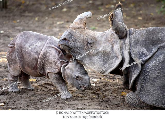 Indian One-horned Rhino (Rhinoceros unicornis), captive, 3 week old cub with mother