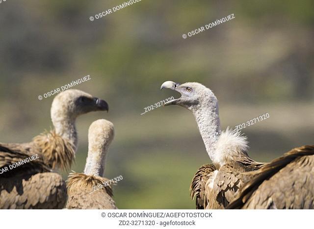 Griffon Vulture (Gyps fulvus) portrait. Lleida province. Catalonia. Spain