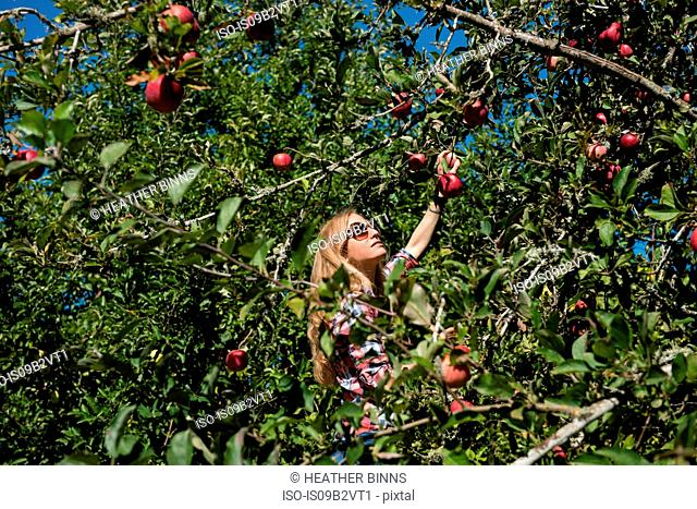 Young woman picking apples in organic farm orchard