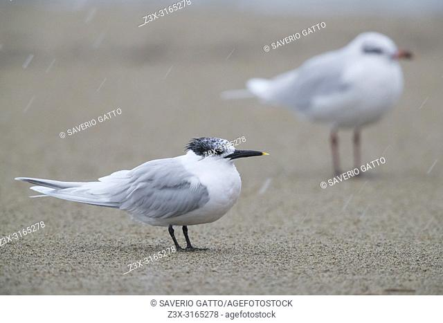 Sandwich Tern (Thalasseus sandvicensis), adult resting on a beach together with a Mediterranean gull