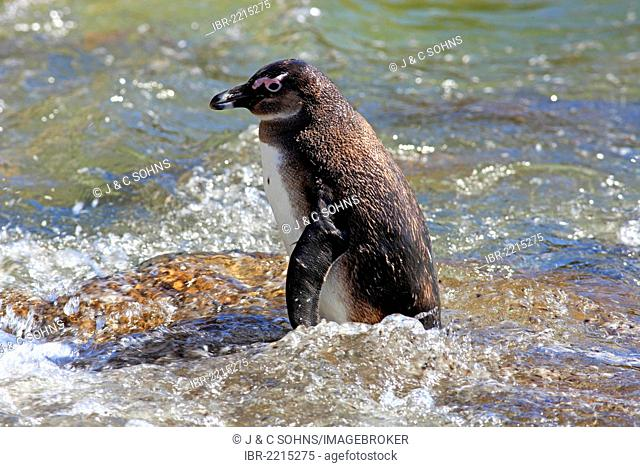 Jackass Penguin, African Penguin or Black-Footed Penguin (Spheniscus demersus), standing in water, Betty's Bay, Western Cape, South Africa, Africa