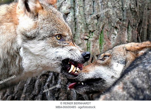 Wolves, Canis lupus, snarl, teeth, threatening gesture