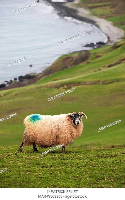 Sheep at Torr Head near Ballycastle, antrim, Ireland