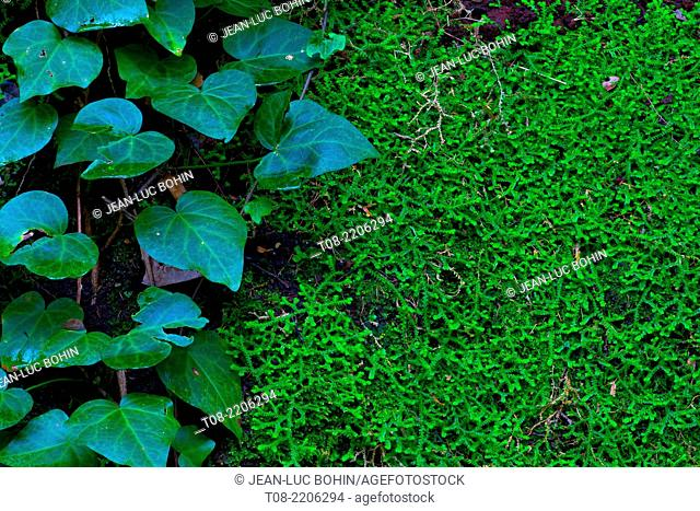 spain,canary islands, la palma, los tilos : moss and ivy on rocks