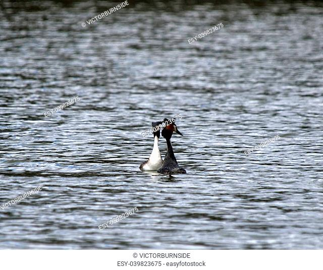 Grebes on water