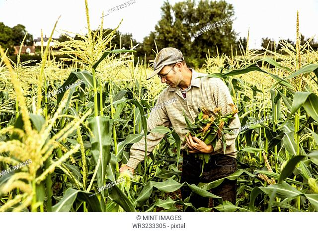 Farmer standing in a corn field, harvesting maize cobs