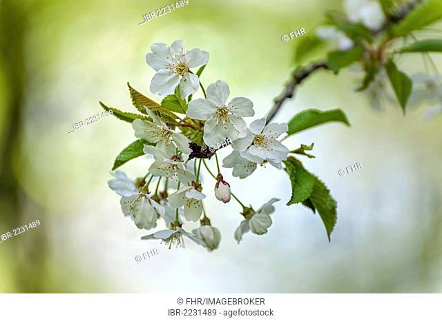 Blossoms, cherry tree (Prunus avium)