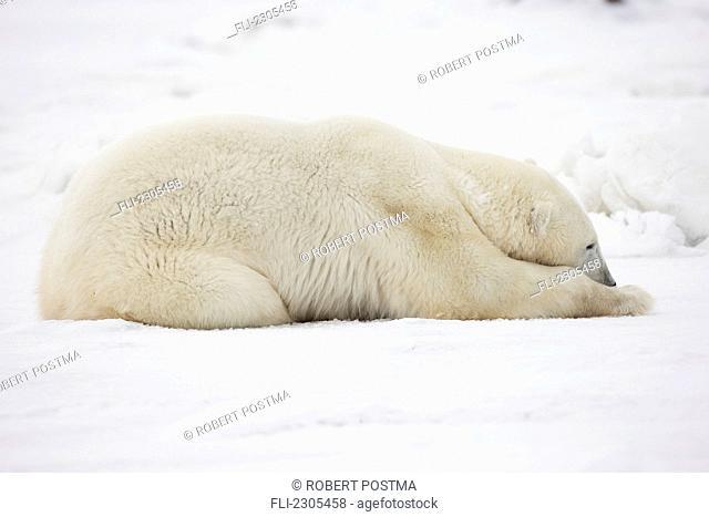 Polar Bear Sleeping In The Snow;Churchill Manitoba Canada