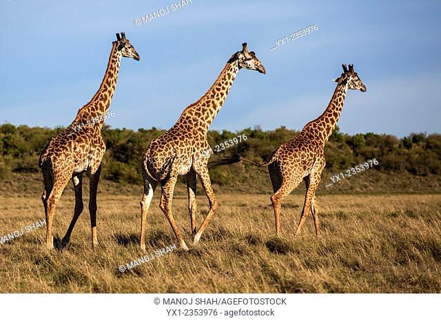 Three giraffes on the savanna