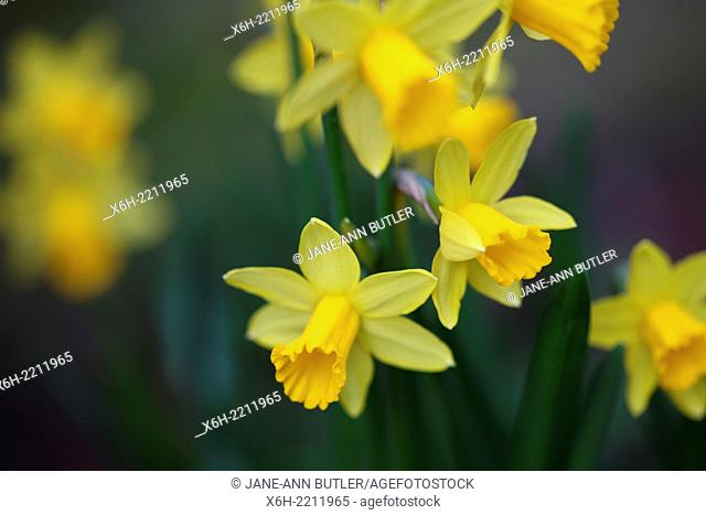 the daffodil has a strong association with Easter symbolising re-birth and new beginnings