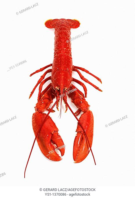 BOILED LOBSTER homarus gammarus AGAINST WHITE BACKGROUND