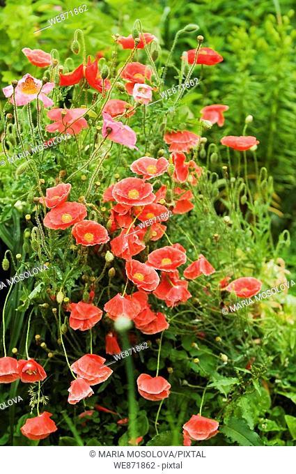 Red Flanders Poppies. Papaver rhoeas June 2008 Maryland, USA