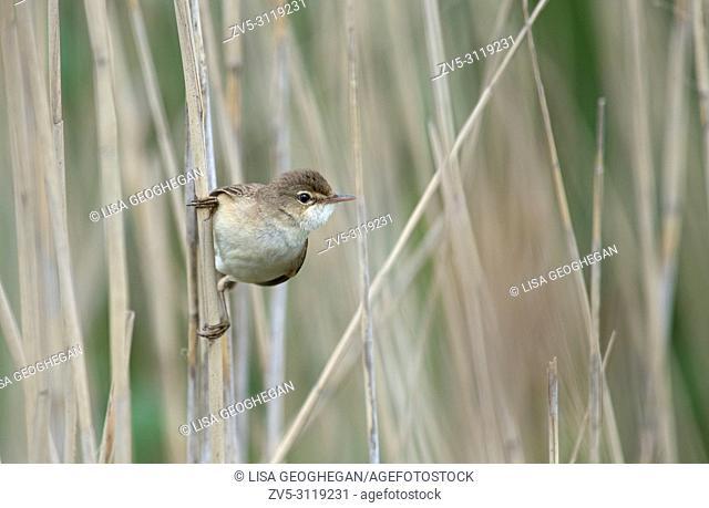 Reed Warbler-Acrocephalus scirpaceus. Spring. Uk