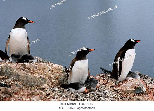 three Gentoo penguins with cubs in nest / Pygoscelis papua