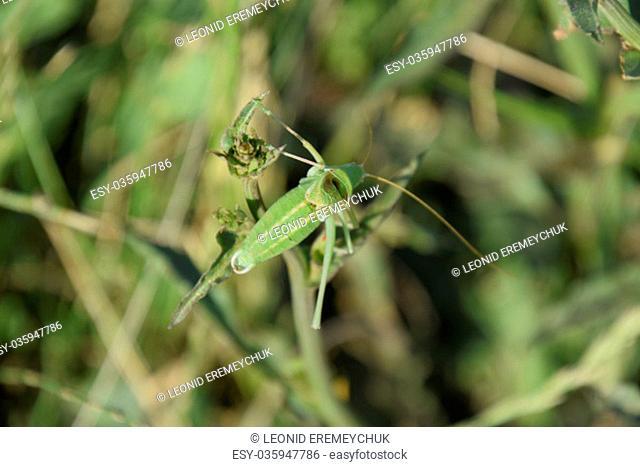 Isofya on the chicory stalks. Grasshopper isofia male