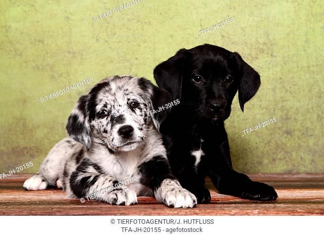2 Australian-Shepherd-Labrador-Mongrel Puppies