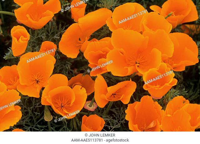 Small cluster of CA Poppies, Antelope Valley, CA (Eschscholzia californica)
