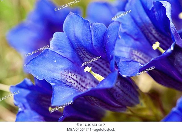 View in gentian blossom