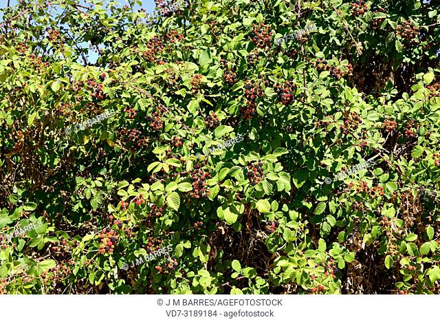 Elmleaf blackberry (Rubus ulmifolius) is a deciduous shrub native to Mediterranean Basin and United Kingdom. Its fruits (polidrupes) are edible