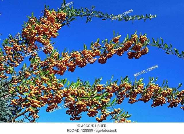 Firethorn Pyracantha coccinea x crenatoserrata