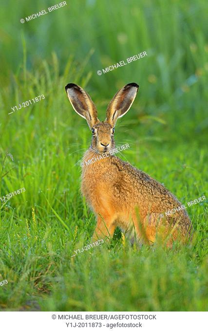 European brown hare, Lepus europaeus, Summer, Hesse, Germany, Europe