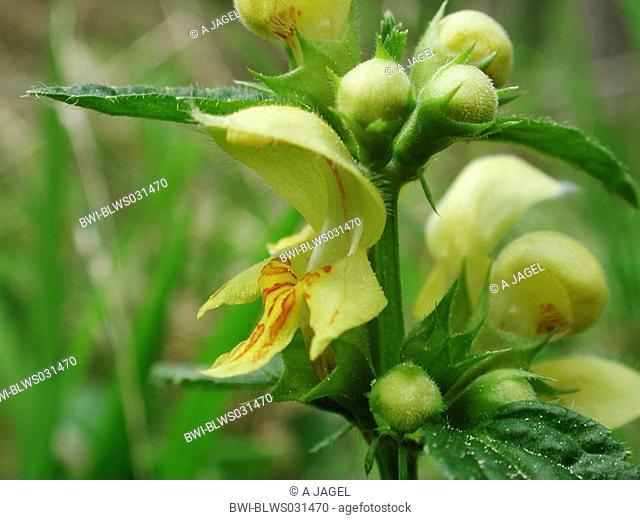 yellow archangle Lamium montanum, Galeobdolon montanum, flower