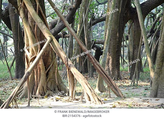 Some of the 3300 aerial roots of the world's largest banyan tree in Kolkatas botanical garden, Kolkata, West Bengal, India, Asia