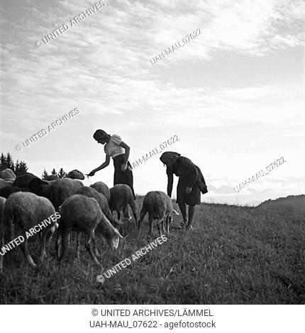 Zwei junge Frauen spielen auf einer Alm mit Schafen, Deutschland 1930er Jahre. Two young women playing with sheep on a lawn, Germany 1930s